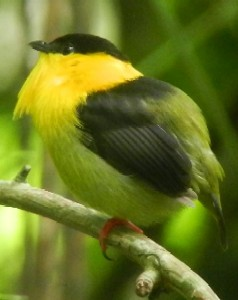 Birdwatching Tours Central American And Caribbean